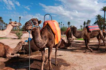 Marrakech  Balade au dos de dromadaire|Chameauxdans le jardin de la palmeraie